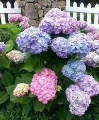 عکس, پرورش گل ادریسی یا هفت رنگ