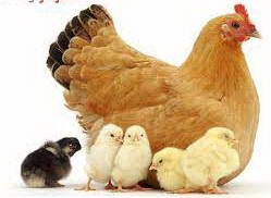 عکس, مرغ دیدن در خواب چه تعبیری دارد خوب یا ید
