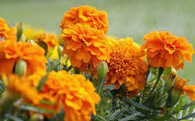 عکس, تکثیر گل جعفری و نور و خاک و آب مناسب برای آن