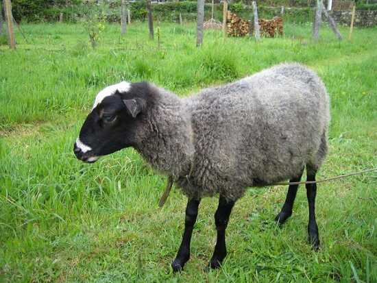 عکس, معرفی پر سودترین نژادهای گوسفند برای پرورش