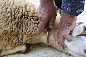 عکس, قربانی کردن گوسفند در خواب نماد و تعبیر چیست