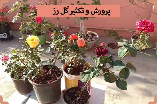 عکس, از سیر تا پیاز پرورش گل رز در آپارتمان و باغچه