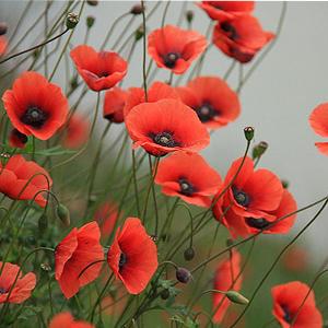 عکس, تکثیر و نور و خاک و آب مناسب برای گل شقایق