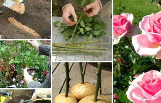 عکس, آموزش ریشه دادن شاخه گل هدیه گرفته یا گل رز چیده شده
