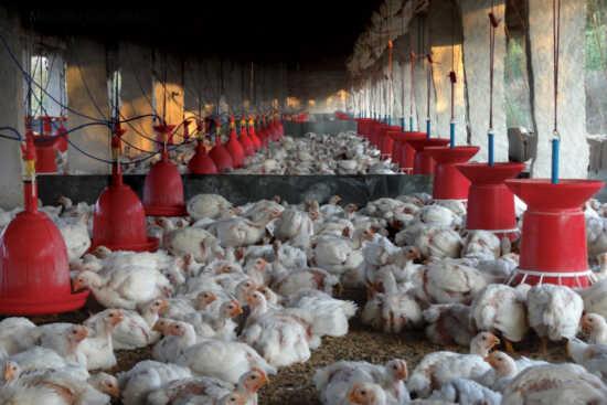 عکس, آموزش پرورش مرغ گوشتی و میزان در آمد آن