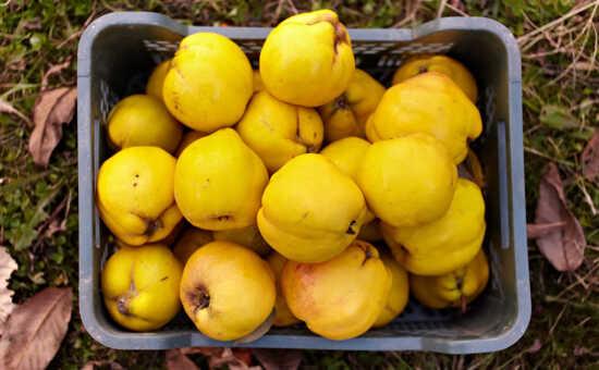 عکس, زمان و روش چیدن میوه به و نگهداری درست آن