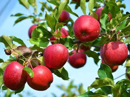 عکس, برای رشد بیشتر و با کیفیت تر سیب رد دلشیز بخوان