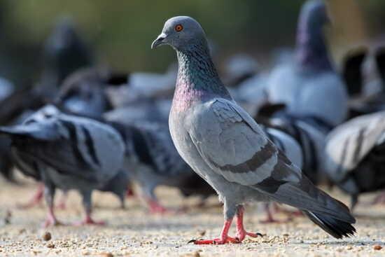 عکس, سرمایه و آموزش پرورش کبوتر در خانه