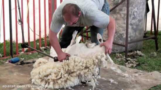 عکس, آموزش چیدن پشم گوسفند