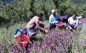 عکس, آموزش پرورش گل گاو زبان و میزان سود آن