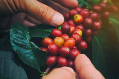 عکس, همه چیز درباره مراحل تولید قهوه