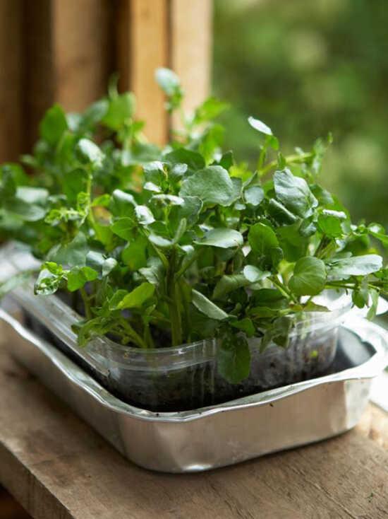 عکس, روش کاشتن بذر شاهی در گلدان و باغچه و آپارتمان